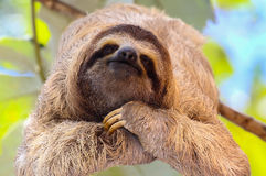 Happy sloth Stock Images