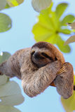 Happy sloth Stock Photos