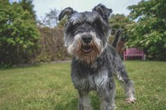 Black and Grey Mini Schnauzer In Sunny Garden. Happy small dog playing on the lawn in a sunny beautiful garden with trees royalty free stock photography