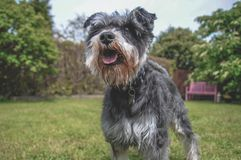 Black and Grey Mini Schnauzer In Sunny Garden. Happy small dog playing on the lawn in a sunny beautiful garden with trees stock images