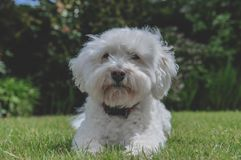 White Bichon Frise Cross In Sunny Garden stock photos