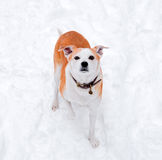Happy small dog running outdoors in winter Royalty Free Stock Images