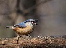 A happy small passerine the Eurasian nuthatch or Sitta europaea bird singing Stock Image