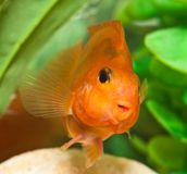 Happy smile of aquarium fish parrot Stock Images