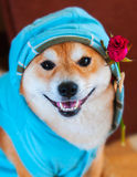 Happy smile form Shiba Inu dog w Royalty Free Stock Photos