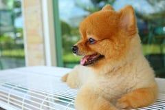 Happy smile pomeranian small dog cute pet Stock Image