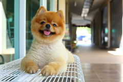 Happy smile pomeranian small dog cute pet Royalty Free Stock Photography