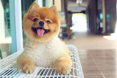 Happy smile pomeranian small dog cute pet Royalty Free Stock Images