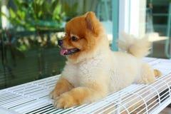 Happy smile pomeranian small dog cute pet Royalty Free Stock Photos