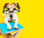 Free Happy Smiling Back To School Dog On Yellow Background Royalty Free Stock Images - 123359909