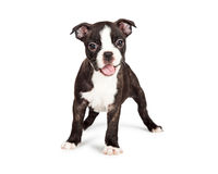 Happy and Smiling Boston Terrier Puppy. A cute and happy seven week old Boston Terrier puppy with mouth open smiling stock images
