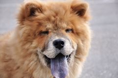 Happy Smiling Chow Chow Dog. Sweet little chow chow puppy dog smiling Royalty Free Stock Images