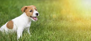 Happy smiling dog puppy sitting in the grass. Happy smiling jack russell terrier dog pet puppy sitting in the grass - web banner idea royalty free stock photography