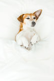 Happy smiling dormant small dog. Royalty Free Stock Image