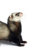 Happy smiling ferret Stock Photography