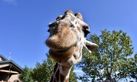 Happy and smiling giraffe at Cheyenne Mountain Zoo stock photography