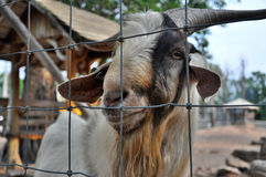 Happy smiling goat in a small farm Royalty Free Stock Photography