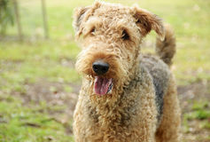 Happy smiling pet dog. An adorable portrait of a happy, cheeky and smiling pet dog who is an Australian bred Airedale Terrier adult female with a wonderful Royalty Free Stock Photo