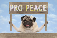 Happy smiling pug puppy dog with wooden sign and text pro peace in white flowers. On blue sky background royalty free stock image
