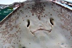 Happy Smiling Stingray stock image