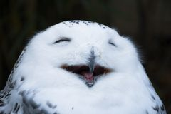 Happy smiling white and wild snowy Owl, yawning with closed eyes in the morning royalty free stock photo