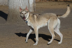 Happy Smiling Young Trotting Husky Dog Mix stock images