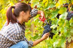 Happy smiling young woman picking bunches of grapes royalty free stock photo