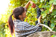 Happy smiling young woman picking bunches of grapes royalty free stock image