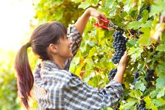 Happy smiling young woman picking bunches of grapes royalty free stock photos