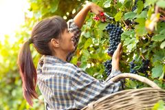 Happy smiling young woman picking bunches of grapes stock image