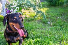 Happy smily dachshund dog on green garden background with placeholder stock images
