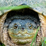 Happy Snapping Turtle. A smiling, optimistic turtle with grass seeds on his face stock photo