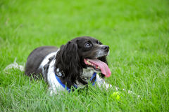 Happy spaniel Royalty Free Stock Photo
