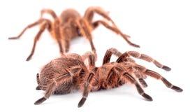 Happy Spiders Family. Royalty Free Stock Photo