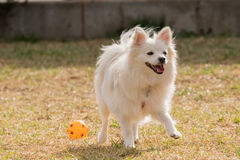 Happy Spitz dog playing at a park with a ball. Royalty Free Stock Images