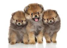 Happy Spitz puppies royalty free stock photos