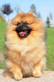 Happy spitz is smiling Royalty Free Stock Photo