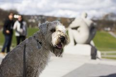 Happy spring day in the park. Wheaten terrier in the park. Good vibes. Smiling Royalty Free Stock Images