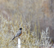 Happy Spring Robin Sitting on Fence Post stock images