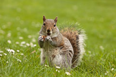 Happy squirrel Royalty Free Stock Image