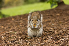 Happy squirrel Royalty Free Stock Photography