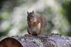 Happy Squirrel Stock Image
