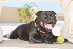 Happy Staffordshire Bull Terrier Stock Photography