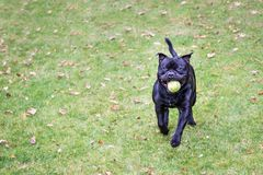 Happy staffordshire bull terrier running with a tennis ball in h Royalty Free Stock Photography
