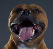 Happy staffordshire dog. Happy staffordshire bull terrier dog in studio Stock Photography