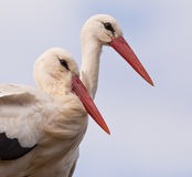 Happy Stork couple Royalty Free Stock Photos