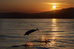 Dolphin while jumping in the sea at sunset. Happy striped dolphin jumping outside the sea at sunset stock photo