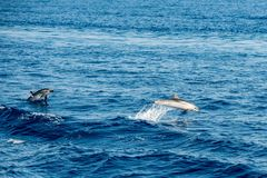 Dolphin while jumping in the deep blue sea. Happy striped dolphin jumping outside the sea at sunset royalty free stock images