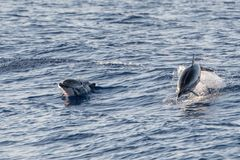 Dolphin while jumping in the deep blue sea. Happy striped dolphin jumping outside the sea at sunset stock image