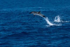 Dolphin while jumping in the deep blue sea. Happy striped dolphin jumping outside the sea at sunset royalty free stock image